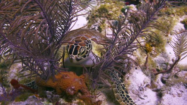 Turtle Eats Sponge while sitting on the bottom. Key Largo, Florida Keys.