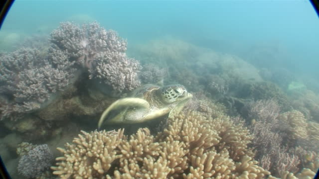 MS Turtle emerges from coral reef and swims away  AUDIO / Queensland, Australia