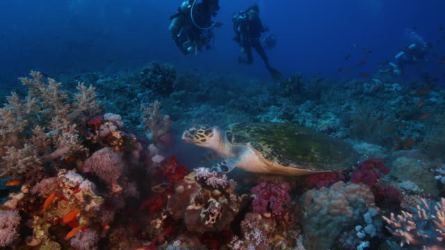 a turtle feed along a a coral reef - rotes meer stock-videos und b-roll-filmmaterial