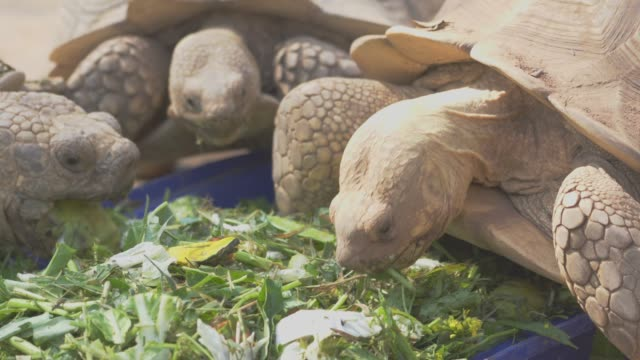 vídeos de stock e filmes b-roll de turtle feeding food. - gigante personagem fictícia