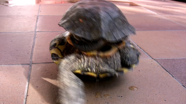 stockvideo's en b-roll-footage met turtle fun - schildpad