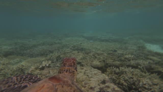 vídeos y material grabado en eventos de stock de turtle gliding, gbr, lady elliot island - escafandra autónoma
