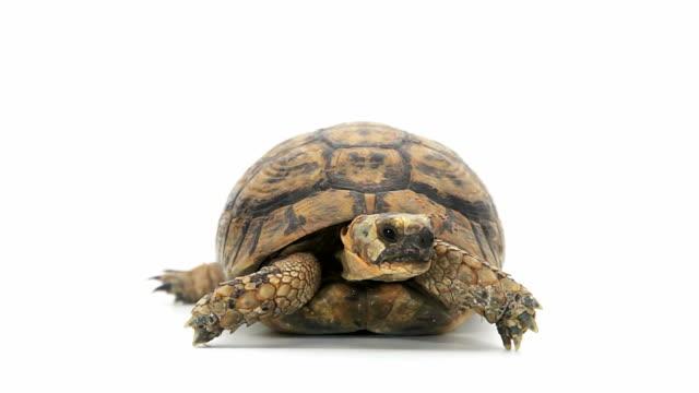 turtle, entfernt - landschildkröte stock-videos und b-roll-filmmaterial