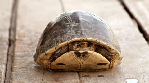 turtle verstecken - landschildkröte stock-videos und b-roll-filmmaterial