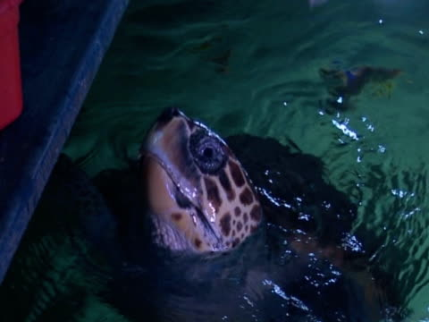 turtle human interaction, swimming, feeding time - scarborough uk stock videos & royalty-free footage