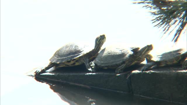 turtle in a moat - dissolvenza in chiusura video stock e b–roll