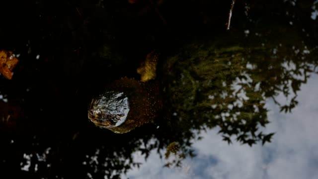 turtle in the wild submerged - north america stock videos & royalty-free footage