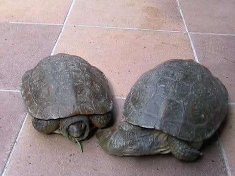 vídeos de stock, filmes e b-roll de turtle beijar seus colegas - reptile