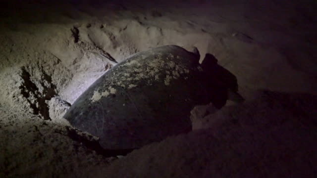 ls turtle laying eggs - turtle stock videos & royalty-free footage