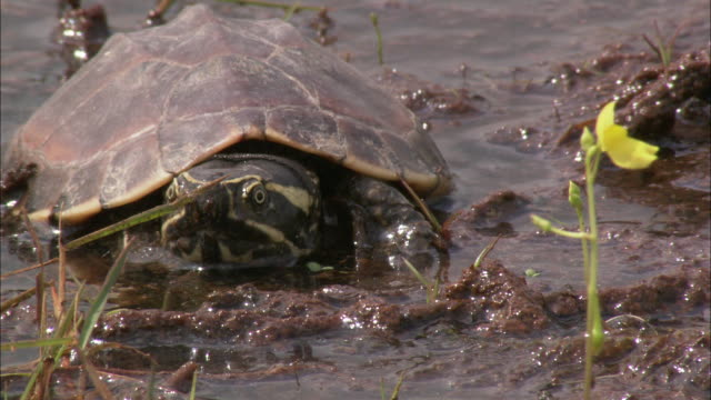 a turtle lies in the mud looking around and dipping it's head in the mud. - turtle stock videos & royalty-free footage