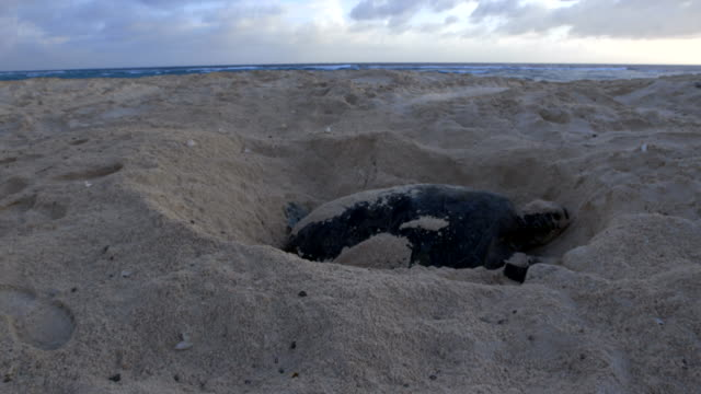turtle nesting in the sand in the day - animal nest stock videos & royalty-free footage