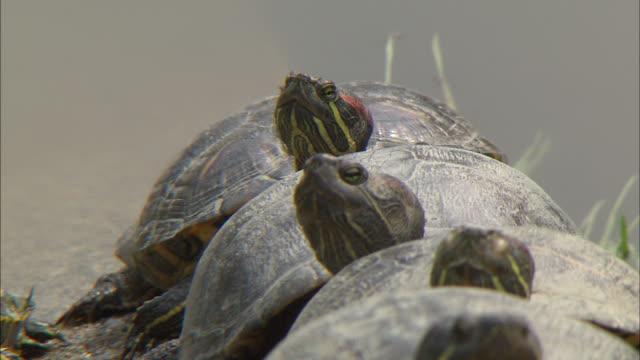 Turtle Of Fuoka