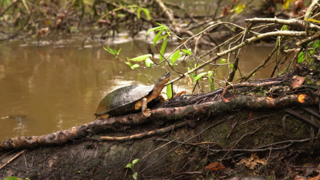 LS Turtle on a tree trunk