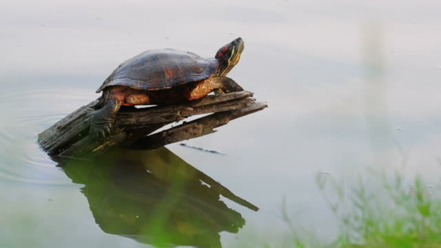 turtle on log - log stock videos & royalty-free footage