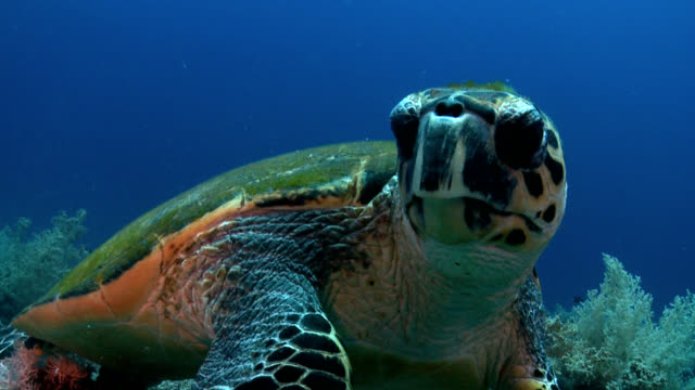 Turtle on red sea reef face shot