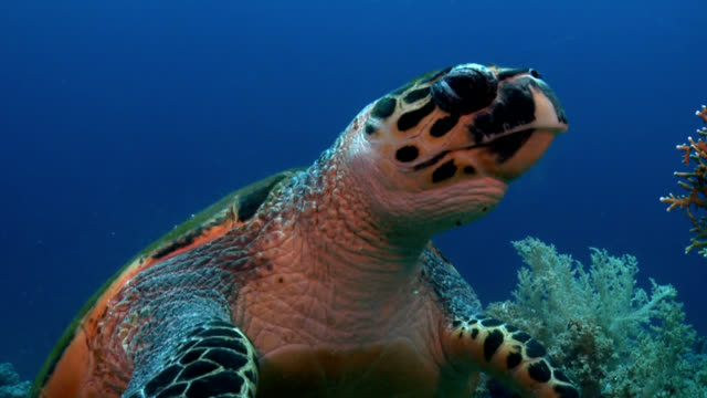 turtle on red sea reef face shot - turtle shell stock videos & royalty-free footage