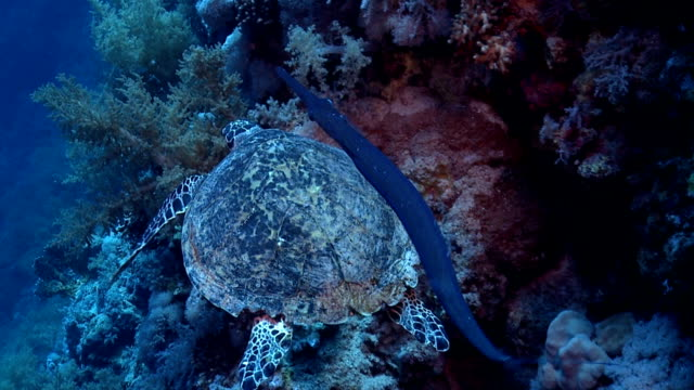 turtle on red sea reef - trumpet fish stock videos & royalty-free footage