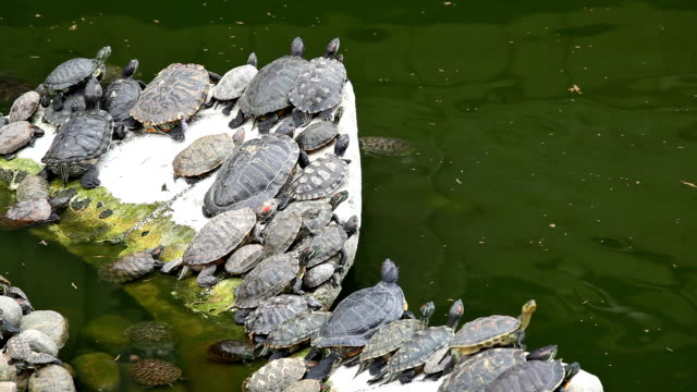 turtle on rock in pond - turtle shell stock videos & royalty-free footage