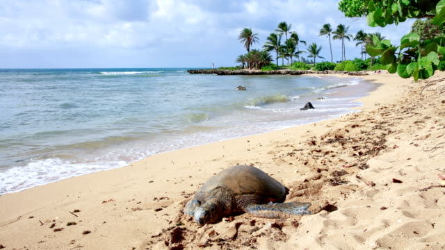 turtle on the oahu raniaea beach in hawaii, usa - hawaii islands stock videos & royalty-free footage