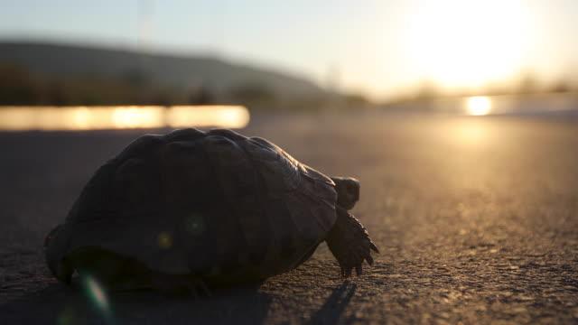 schildkröte bei sonnenuntergang unterwegs - überqueren stock-videos und b-roll-filmmaterial