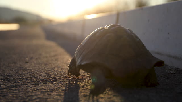 turtle on the road at sunset - tortoise stock videos & royalty-free footage