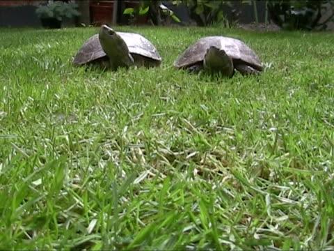 Turtle sur la course