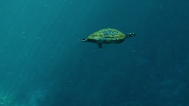 a turtle paddles swiftly through blue-green water. - freshwater stock videos & royalty-free footage