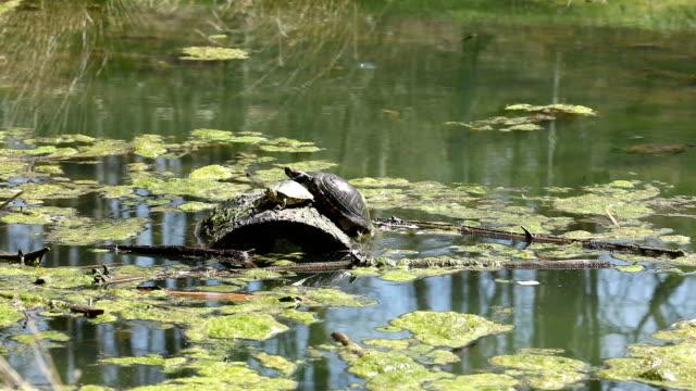 vídeos de stock, filmes e b-roll de tartaruga que empurra sua maneira no registro - tronco termo anatômico