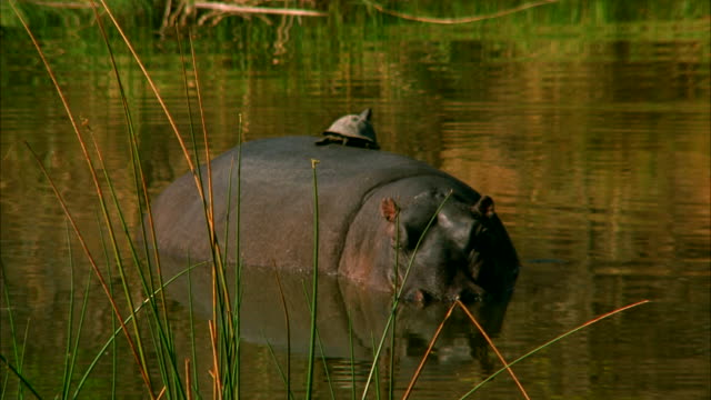 a turtle rides piggyback on a hippo. available in hd. - piggyback stock videos & royalty-free footage