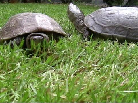 vídeos y material grabado en eventos de stock de tortuga corriendo de su pareja. - dermoquélidos