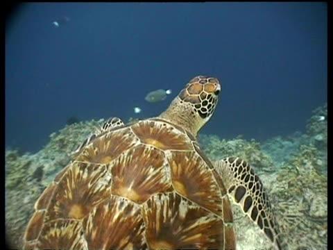 vídeos y material grabado en eventos de stock de cu turtle shell pattern, ms green turtle swims over reef drop off, high angle, sipadan, borneo, malaysia - patrones de colores