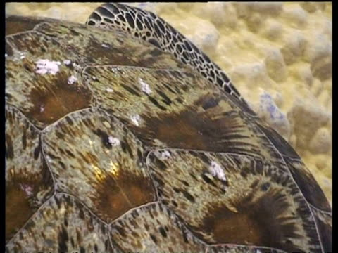 vídeos y material grabado en eventos de stock de bcu turtle shell, zooms out to ms cleaner fish cleaning three green turtles at cleaning station, sipadan, borneo, malaysia - patrones de colores