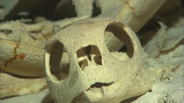turtle, skeleton, skull palau, south pacific  - 動物の骨点の映像素材/bロール