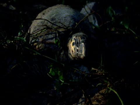 turtle struggles to dig nest hole amongst vegetation at head of beach, barbados - echte karettschildkröte stock-videos und b-roll-filmmaterial