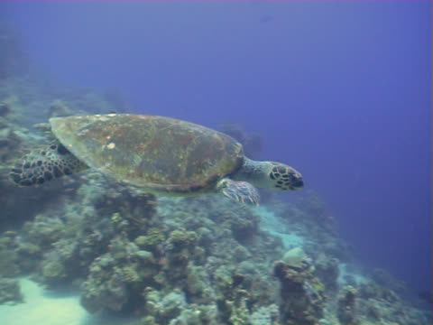 turtle swimming over a coral reef in egypt - aquatic organism stock videos & royalty-free footage