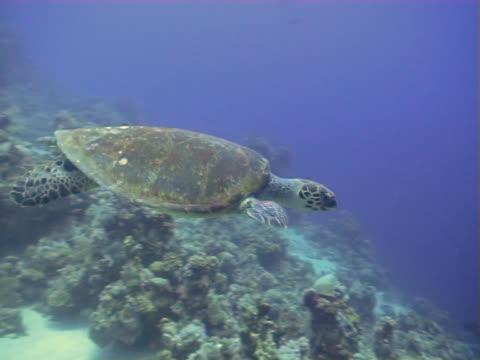 vídeos de stock e filmes b-roll de tartaruga nadando sobre um recife de coral no egipto - organismo aquático