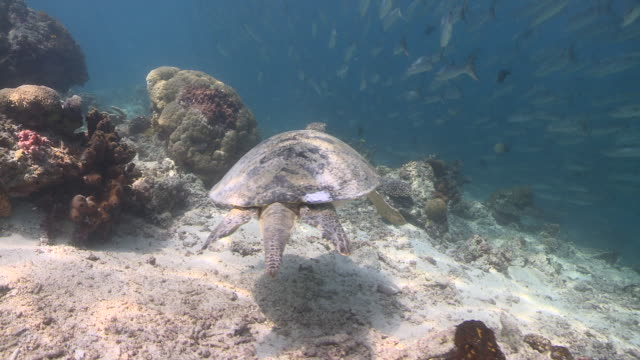 MS TS Turtle swimming through Chevron barracuda school / Sipadan, Sabah, Malaysia