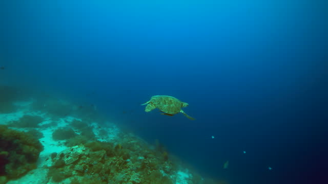 turtle swimming underwater / sulawesi island, indonesia - named wilderness area stock videos & royalty-free footage
