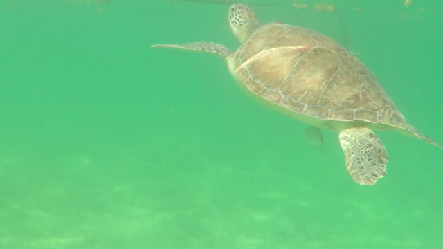 turtle swimming up to the surface of the sea - gulf of mexico stock videos and b-roll footage
