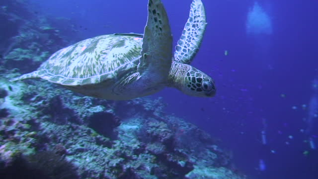 turtle swimming - green turtle stock videos and b-roll footage