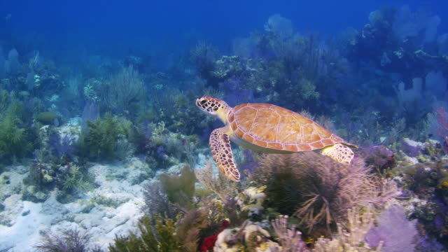 turtle swims along reef the up at the surface.  minnow caves, key largo, florida keys. - green turtle stock videos and b-roll footage