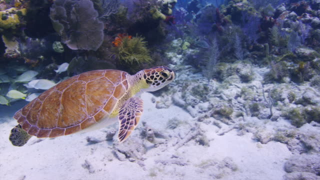 turtle swims by colorful seafans and corals at minnow caves, key largo, florida, florida keys, then stops and rests on the bottom. - sea turtle stock videos & royalty-free footage