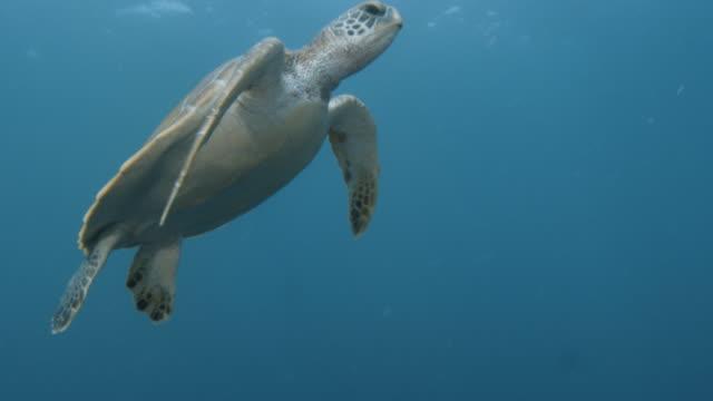 vidéos et rushes de turtle underwater shot - tortue aquatique