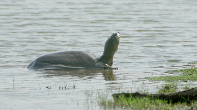 turtle - wildlife tracking tag stock videos and b-roll footage