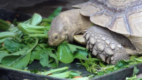 schildkröte - landschildkröte stock-videos und b-roll-filmmaterial