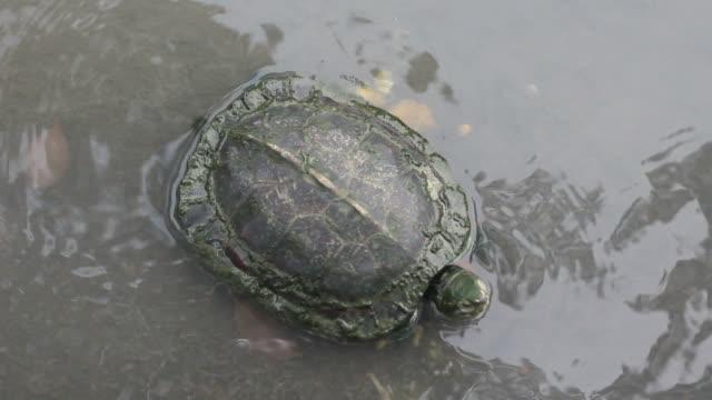 vídeos y material grabado en eventos de stock de la tortuga - organismo acuático
