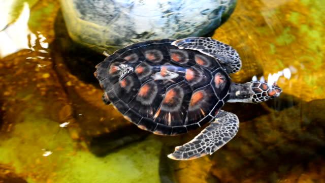 turtle - aquatic organism stock videos & royalty-free footage