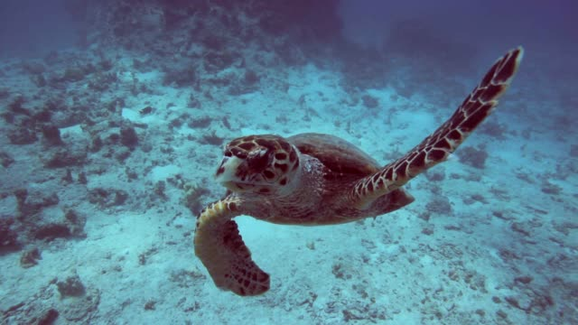 turtle view strait in the camera - red sea stock videos & royalty-free footage