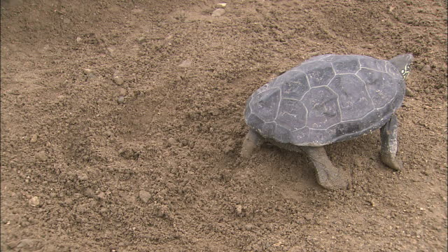 Turtle Walking Away After Hiding Eggs