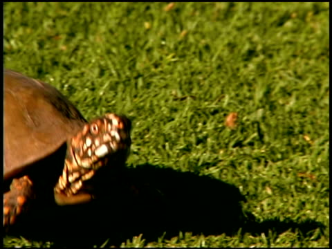 turtle walking in grass - tortoise stock videos and b-roll footage